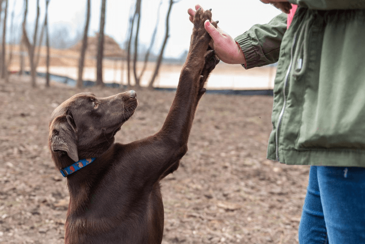 Chocolate lab giving his owner a high-five